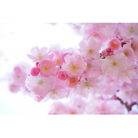Cherry Blossom Fragrance x 10ml